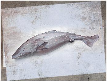 pacific sleeper shark  圖片標題: Pacific Sleeper Shark
